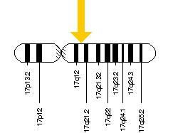 BRCA1 gene on chromosome 17