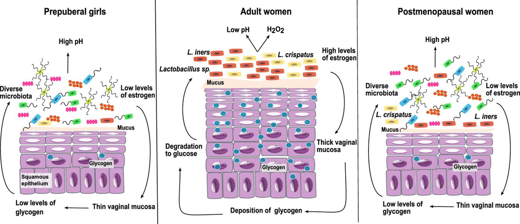 pharmacy compounding Vaginal lactobacillus