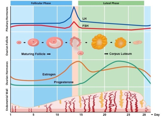 menstrualcycle1_med