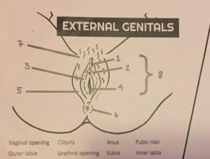 externalgenetalia